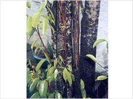 インドネシアの沈香樹